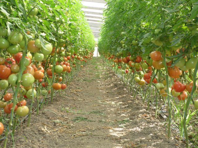 Як вирощувати помідори в теплиці, щоб був великий урожай