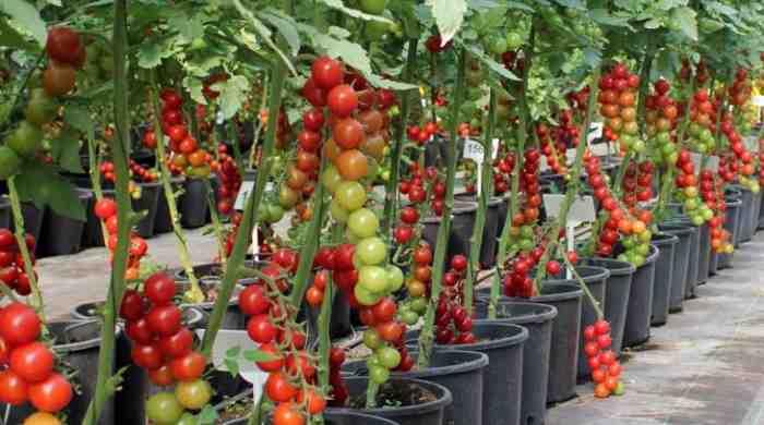 Кращі сорти помідорів і опис їх для теплиць з полікарбонату