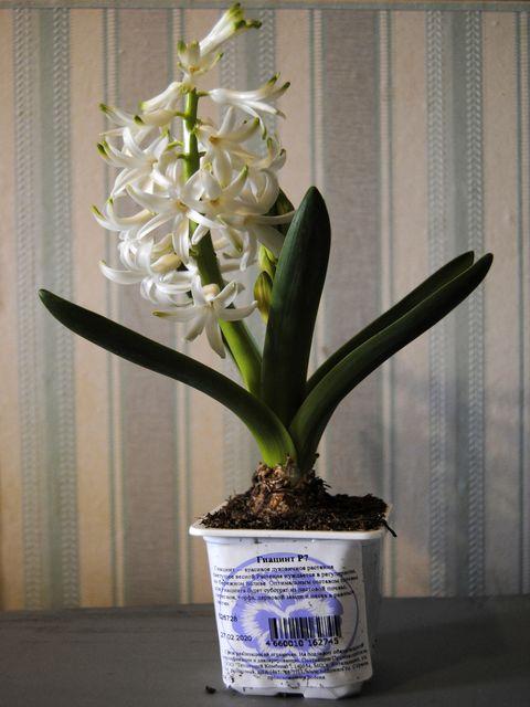 Квітка гіацинт — догляд в домашніх умовах, посадка і розмноження